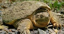 snapping turtle benedettos